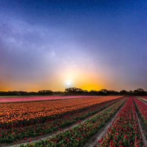 La Torche : champ de tulipes à la lueur de la Lune