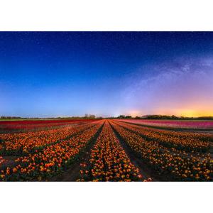 La Torche : champ de tulipes sous les étoiles